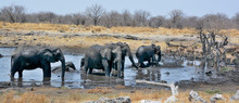 Elephants Covered Of Black Mud (Etosha National Park) Namibia Africa Located In The Kunene Region And Shares Boundaries With The Regions Of Oshana, Oshikoto And Otjozondjupa.
