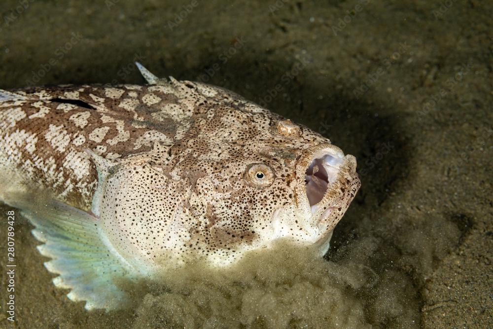 Fotografie, Obraz Whitemargin stargazer is a fish of family Uranoscopidae, widespread in the Indop