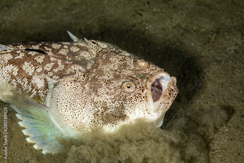 Fotografija Whitemargin stargazer is a fish of family Uranoscopidae, widespread in the Indop