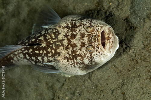 Slika na platnu Whitemargin stargazer is a fish of family Uranoscopidae, widespread in the Indop