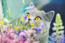 Cute Gray Shorthair Cat And Wild Flowers, Curious Pet Close Up