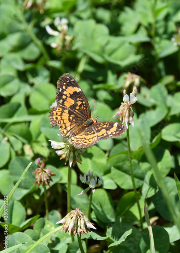 a worn Silvery Checkerspot butterfly feeding on a clover blossom