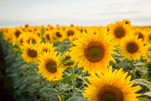 Bright Yellow Sunflowers Blooming In Endless Field In The Evening