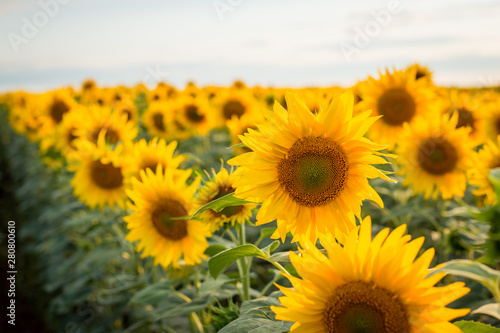 In de dag Zonnebloem Bright yellow sunflowers blooming in endless field in the evening
