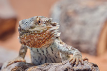 Macro Of Male Bearded Dragon (Bartagame) Looking Angry Into The Camera, Color Half Portrait