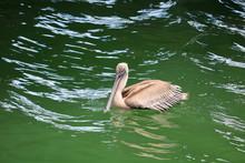 Brown Pelican Resting Peacefuly, St Petersburg, Florida
