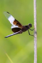 Widow Skimmer (Libellula Luctu...