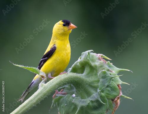 Fotografia, Obraz American goldfinch (Spinus tristis) male on sunflower, Iowa, USA.