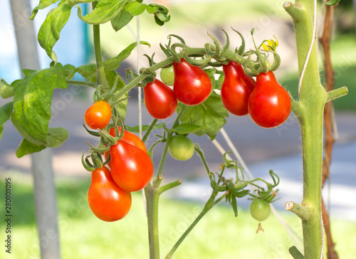 Ripe natural tomatoes growing