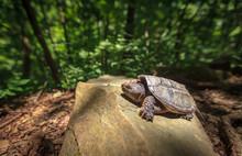 Turtle Climbing A Rock