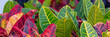 canvas print picture - green and red closeup croton plant view  panorama