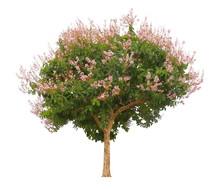 Single Pink Flowering Tree Isolated On White Background For Design Purpose, Lagerstroemia Floribunda Plant Or Thai Crepe Myrtle