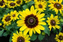 Black Eye Susan Flower, Yellow Rudbeckia (coneflowers) Flowers