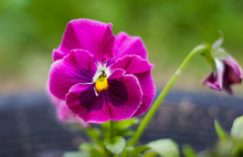 One Beautiful Pink Flower Pansies On A Natural Green Background. Close Up. Pink Lilac Viola