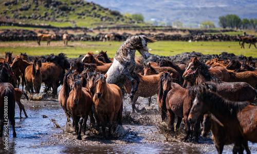 Fotografie, Obraz  herd of horses in desert