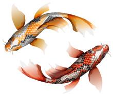 Koi Carps, Traditional Colorful Japanese Fish Detailed Vector