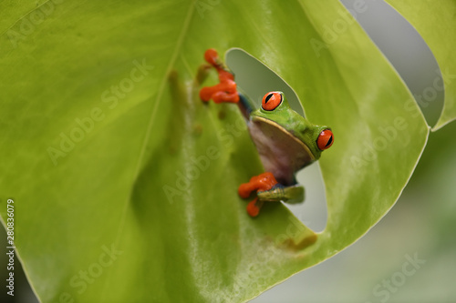 Foto op Plexiglas Kikker Red-Eyed Leaf Frog watching in leaf hole