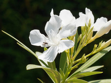Nerium Oleander In Bloom With White Flowers In Clusters At The End Of Each Branch And Dark-green Lanceolate Leaves