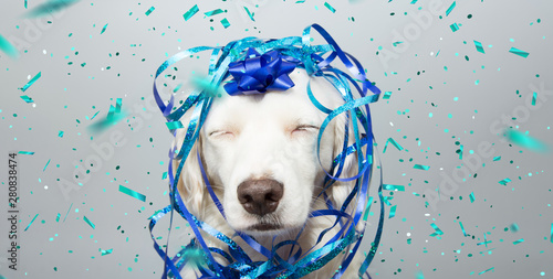 Spoed Fotobehang Carnaval Dog banner party. Puppy celebrating birthday, anniversary, carnival or new year with a blue ribbon on head and serpentine and closed eyes. Isolated on gray background.
