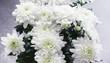 Background of white chrysanthemum flowers. Buds of white flowers.