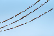 Flock Of Common Starling, Stur...