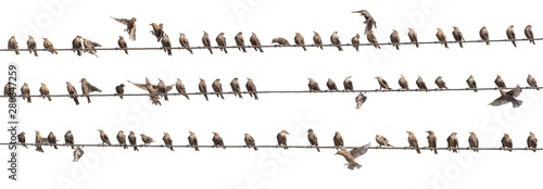 Spoed Fotobehang Vogel Flock of Common Starling, Sturnus vulgaris,on electricity wires. A lot of birds on white background