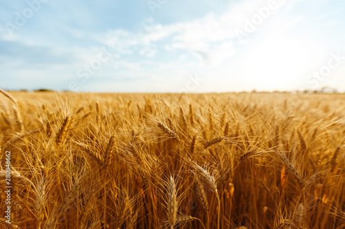Photo backdrop of ripening ears of yellow wheat field on the sunset cloudy orange sky background