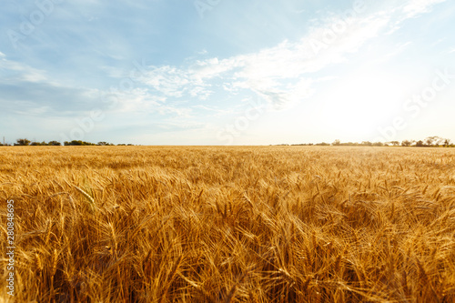 Fototapeta backdrop of ripening ears of yellow wheat field on the sunset cloudy orange sky background. Copy space of the setting sun rays on horizon in rural meadow Close up nature photo Idea of a rich harvest. obraz