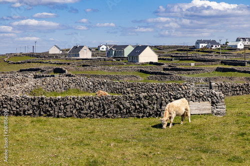 Cows and farms with stone wall in Inishmore Wallpaper Mural