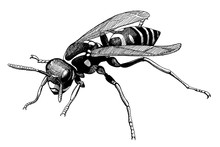 Wasp, Vintage Black Ink Hand Drawn Illustration