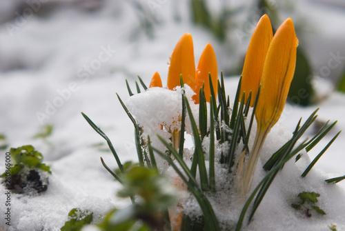 Recess Fitting Crocuses Krokus w śniegu