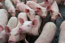 Pigs Diseases. African Swine F...