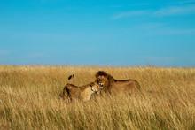 Lion Pair Tall Grass