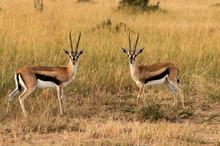Thomson's Gazelle Pair