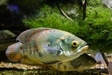 Beautiful Bright Oscar Fish Cl...
