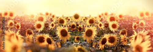 Fototapeta Beautuful sunflower in meadow, agricultural field obraz