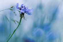 Chaber, Polny Kwiat, Niebieskie Tło.