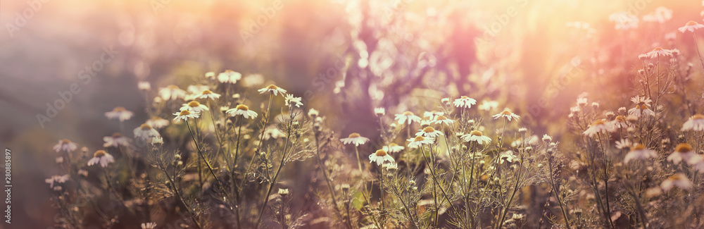 Fototapety, obrazy: Chamomile in meadow, flowering wild chamomile