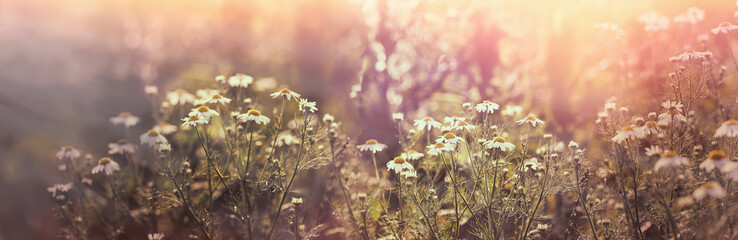 Chamomile in meadow, flowering wild chamomile