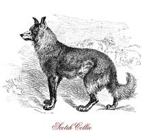 Scotch Collie Herding Dog Originated From The Highland Regions Of Scotland