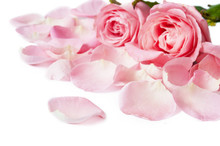 Gentle Pink Rose With Petals Isolated On White Background