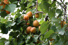 A Bunch Of Ripe Apricots On A ...