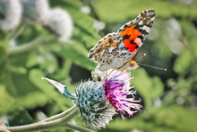 Day Butterfly Painted Lady (Vanessa Cardui) Sits On A Burdock Flower And Drinks Nectar With Its Proboscis.