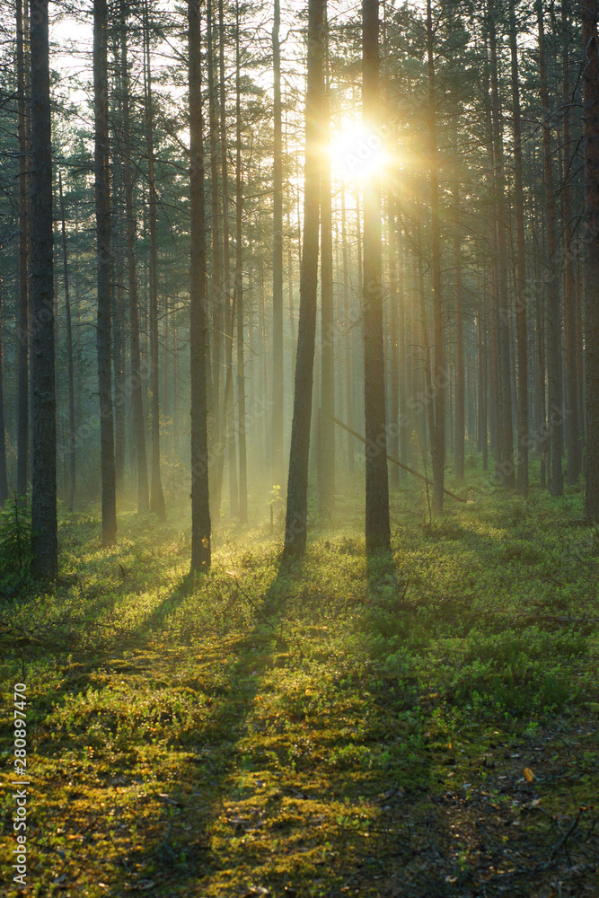 Fototapety, obrazy: A delightful sunrise in a pine forest, the bright rays of the sun pass through the trees and illuminate the soft green moss