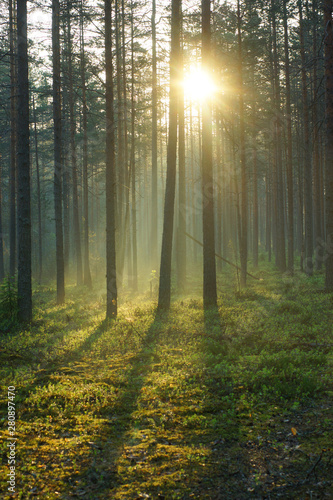 A delightful sunrise in a pine forest, the bright rays of the sun pass through the trees and illuminate the soft green moss - 280897470