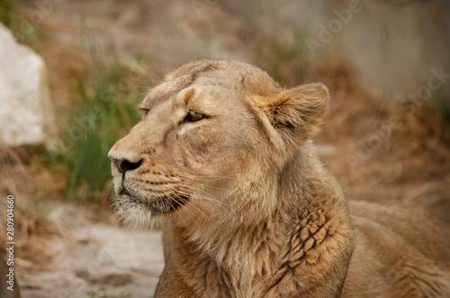 Portret lwa, drapieżnik odpoczywa w słoneczny dzień.
