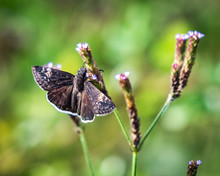 Funereal Duskywing On Wildflowers Along The Nature Trail In Pearland!