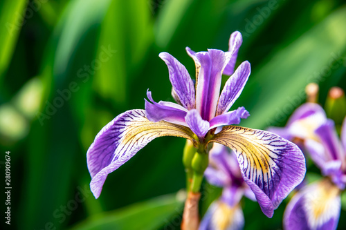 Purple iris flower in summer garden.