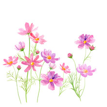 コスモスの花の水彩イラスト