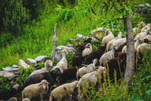 Himalayan Sheeps And Goats